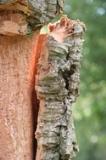 Photo ecorce de liège sur l'arbre sur Alienatur